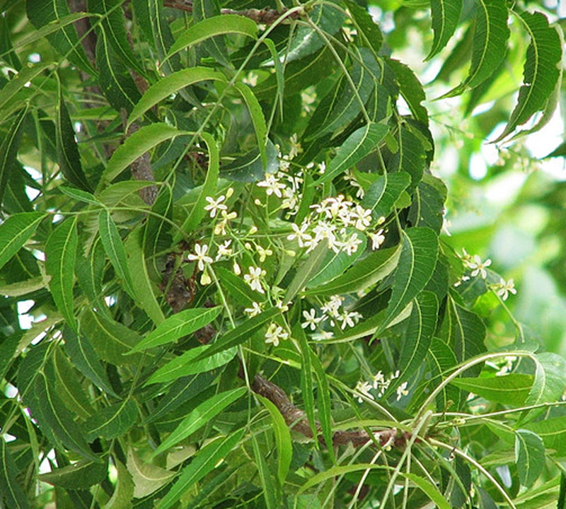 neem plant Gardeners can also use neem oil to control or prevent many common plant pests  and diseases (see the list below) it biodegrades quickly and, in small doses,.